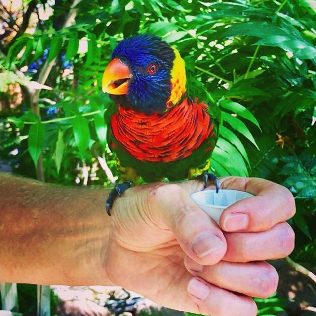 We love feeding the lorikeets at the awesome Denver zoo! We're so jealous of our Australian friends who have these gorgeous guys in their backyards! What's your favorite zoo? Do you check out zoos when you travel? . . . . .  #lovetotravel  #travelgram #travelingcouple #traveltheworld #wanderlust #traveladdict #letslivethere #weloveithere  #boomertravelers  #babyboomertravel #boomertravel  #travelat60 #over60travel #explore #denvercolorado #denverzoo #lorikeets #letsgotothezoo