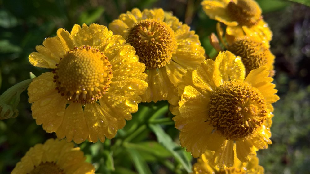 "Helenium ""Kanaria"" after rain"