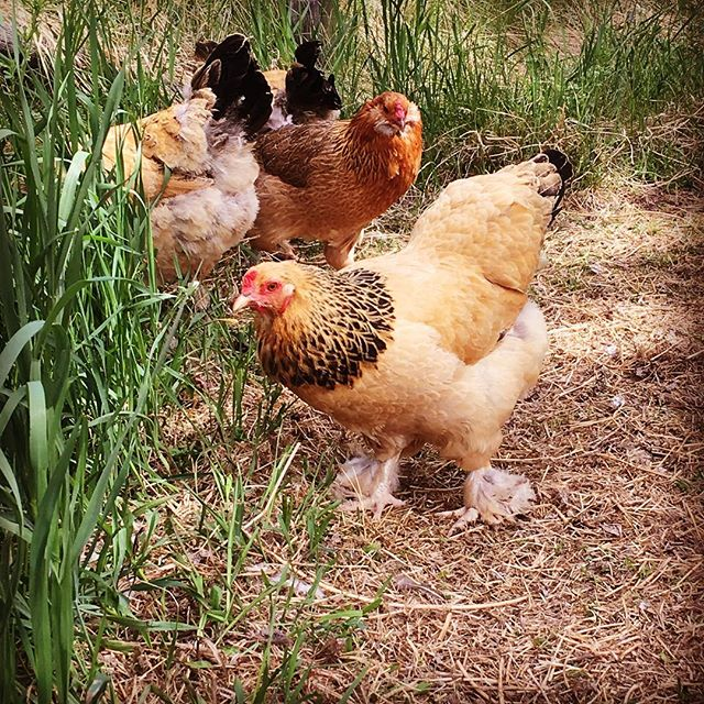 Our son and I take several  daily jaunts out to greet the chickens and watch their antics. They are so happy for the long greens and bugs! They've even cleared out and fertilized a nice patch of garden for me to use! #foragingforthewin #heritagehens
