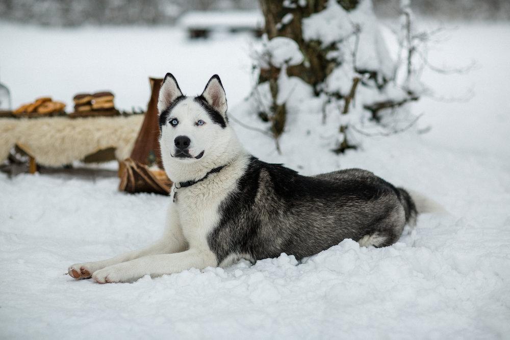 yessica-baur-fotografie-styleshooting-huskies-2-2.JPG