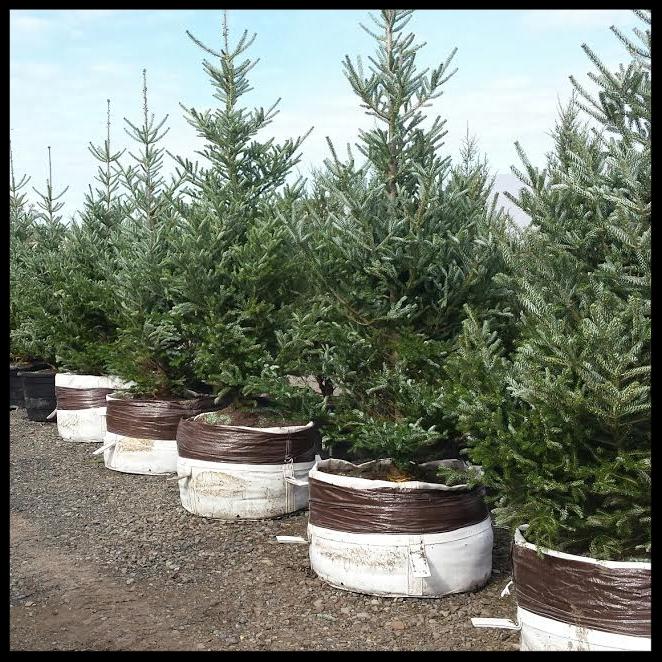 Trees Northwest Spruce