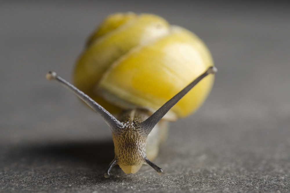 Yellow-banded-snail-found-in-a-garden-of-North-Essex001.jpg