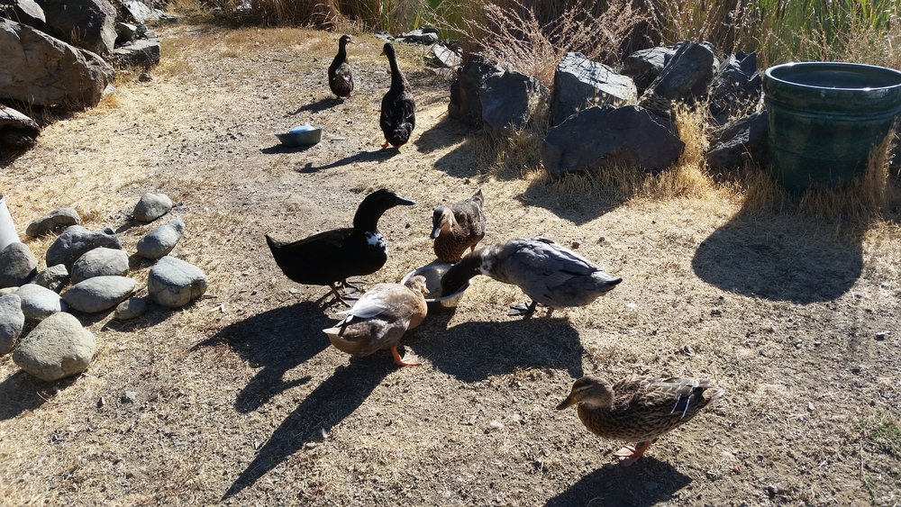 Ducks. Doing duck things.