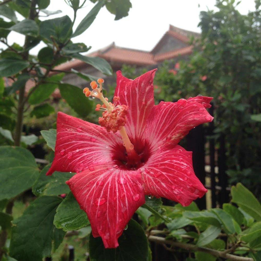 shurijo-castle-hibiscus.jpg