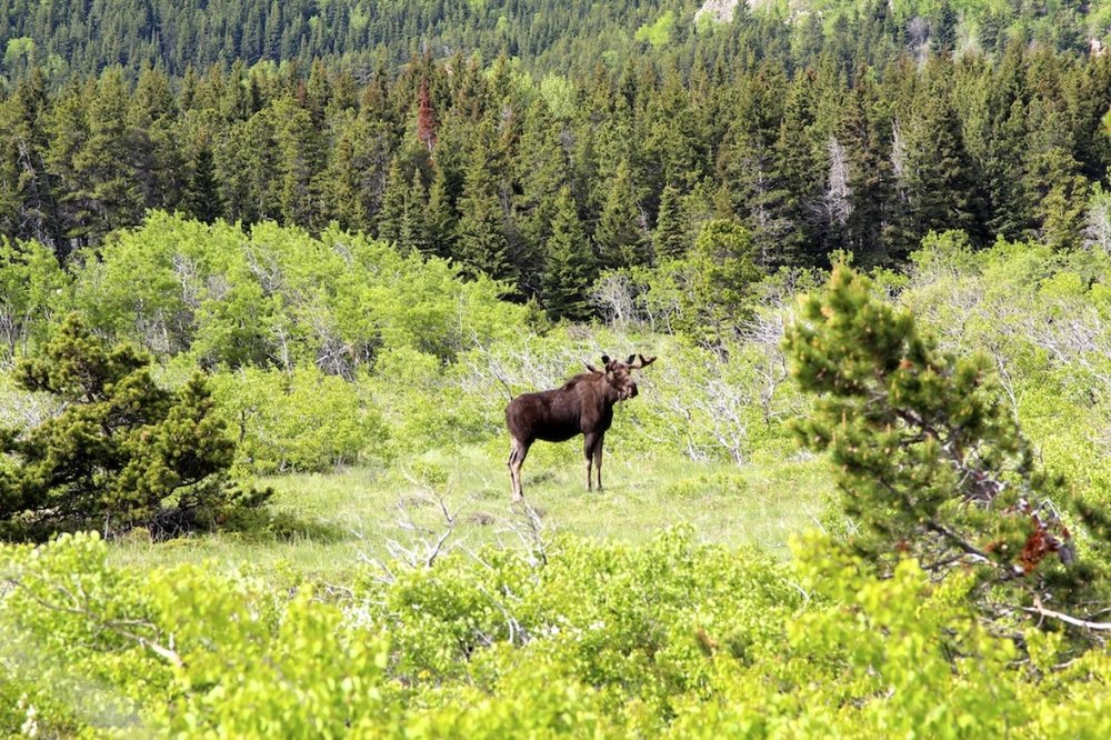 Moose in Glacier National Park