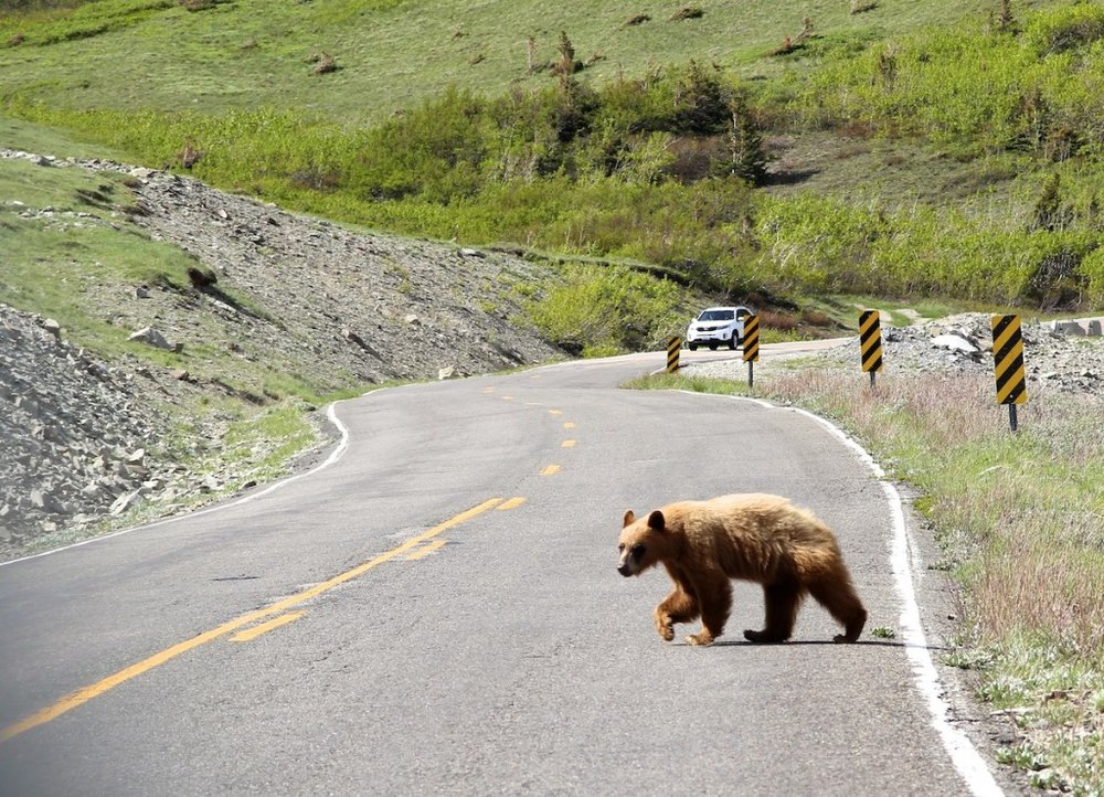 Why did the bear cross the road in Glacier National Park?