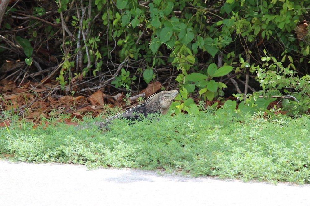 Iguana by the road on Cayman Brac