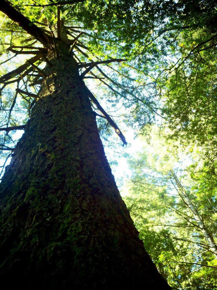 Tree-mt.-tam.jpg