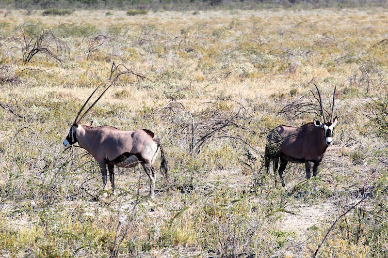 Oryx, Namibia's national animal