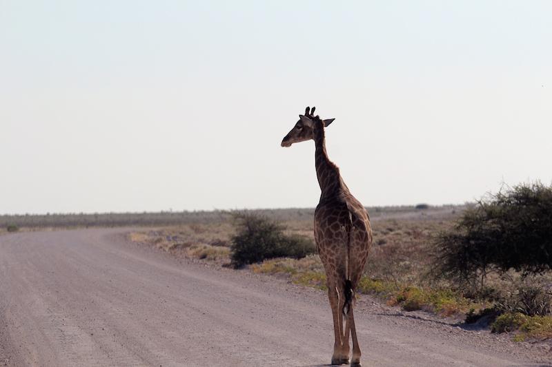 Namibia safari giraffes