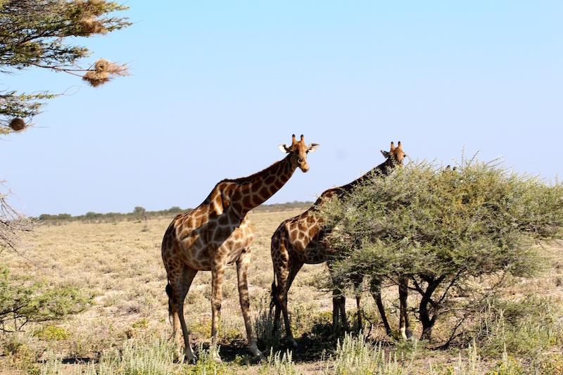 Giraffes grubbin'