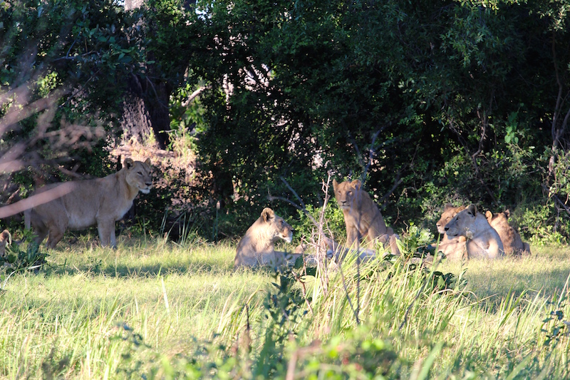 Lions-buffalo-island.jpg