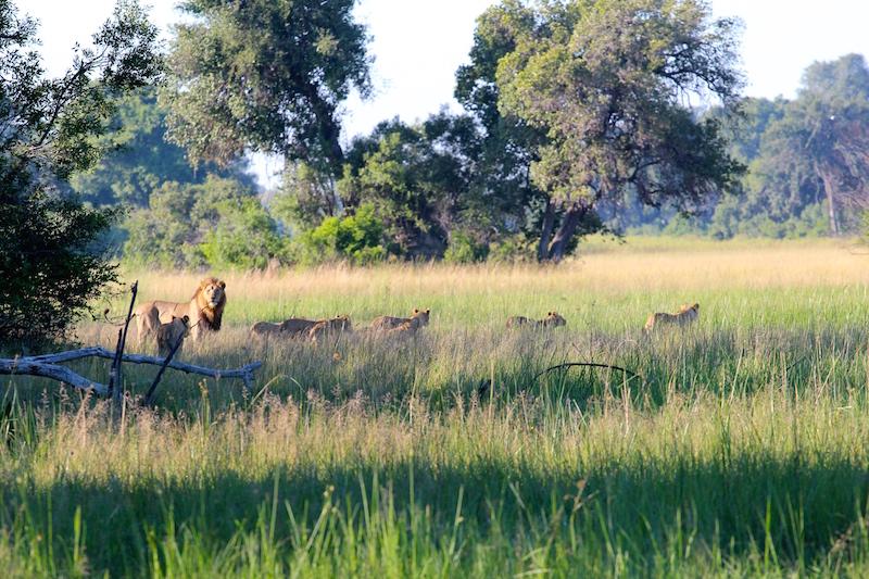 Lions-crossing-delta.jpg