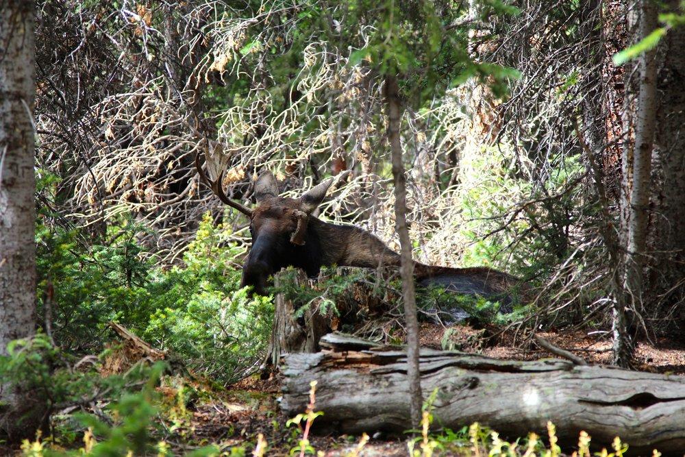 Moose while hiking in Breckenridge Colorado