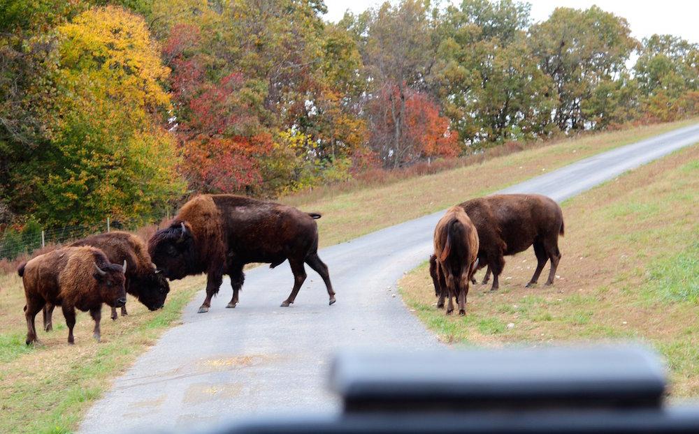 Buffalo at wildlife park in Ozark Mountains Dogwood Canyon
