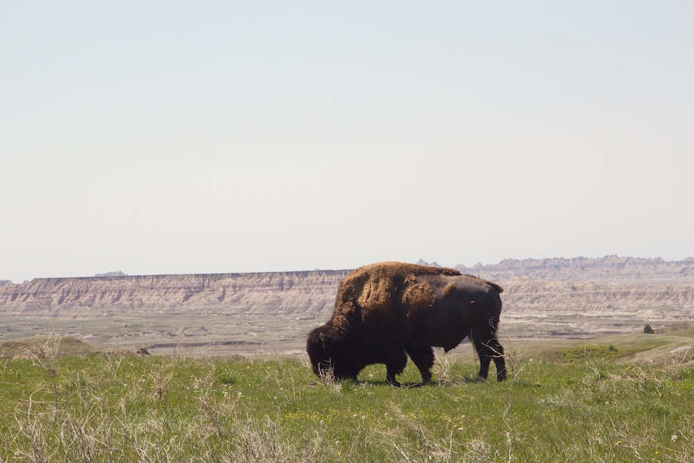 Buffalo-overlooking-Badlands.jpg