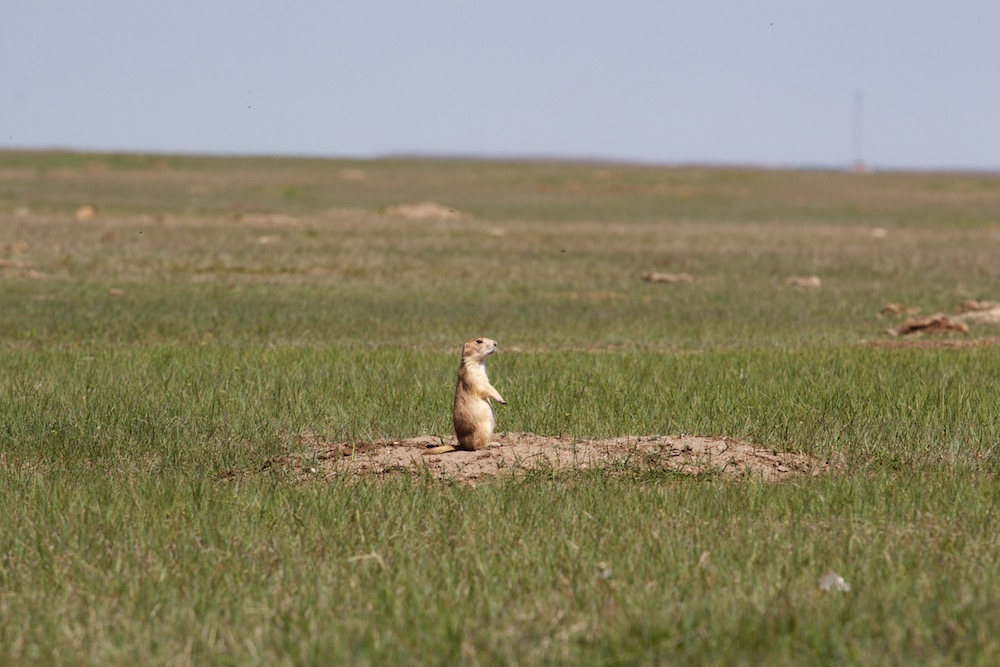 Prairie-Dog-at-Badlands.jpg