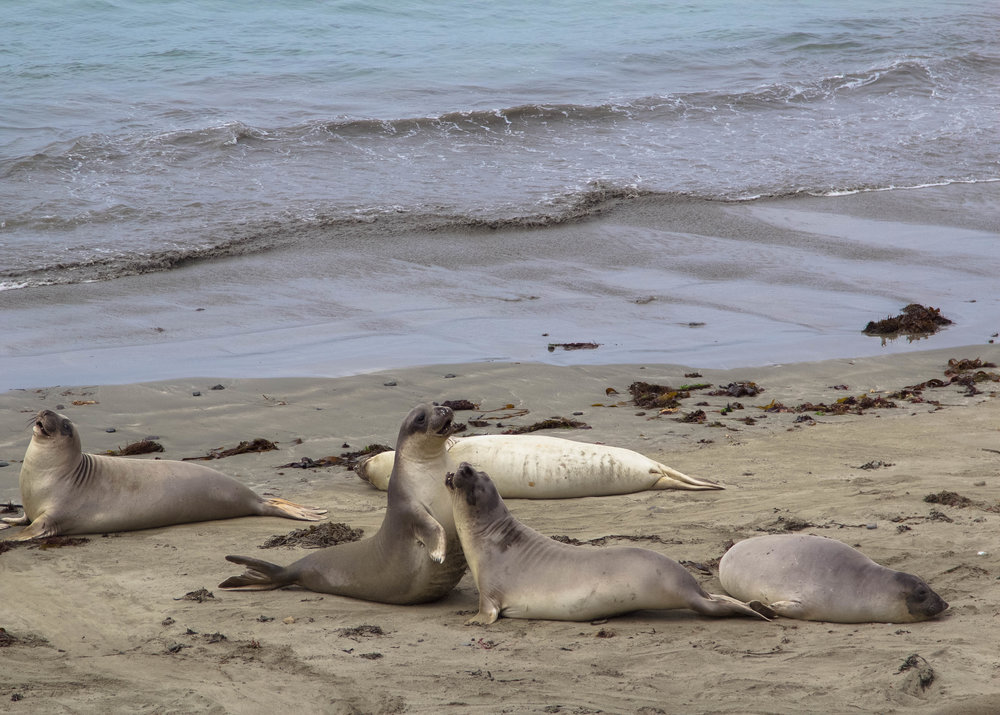 Seals at Piedras Blancas in Big Sur