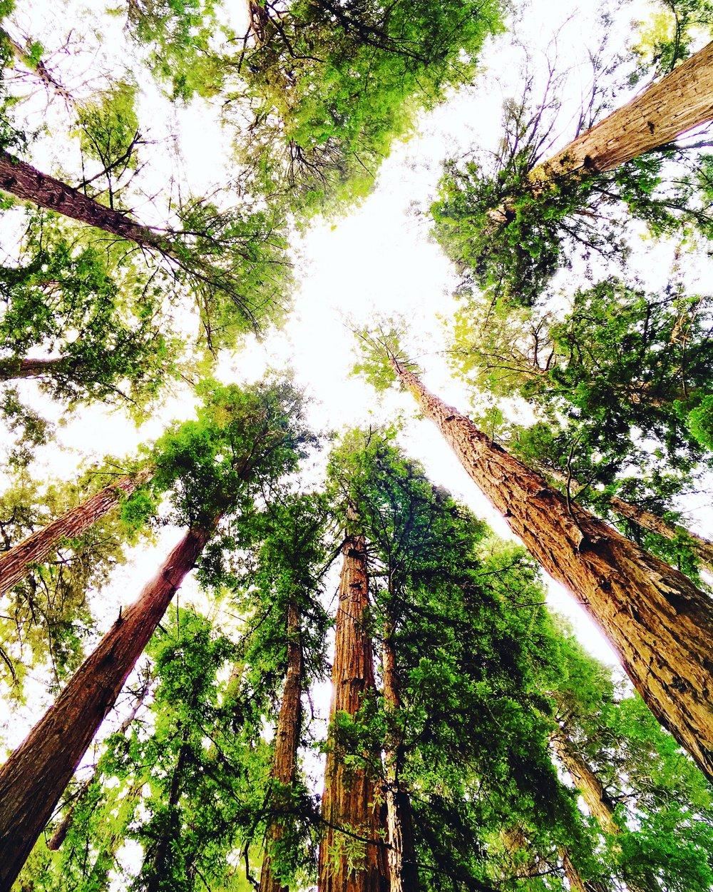 Redwoods Mendocino.JPG