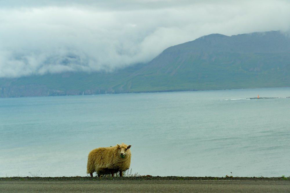 Icelandic sheep.jpg