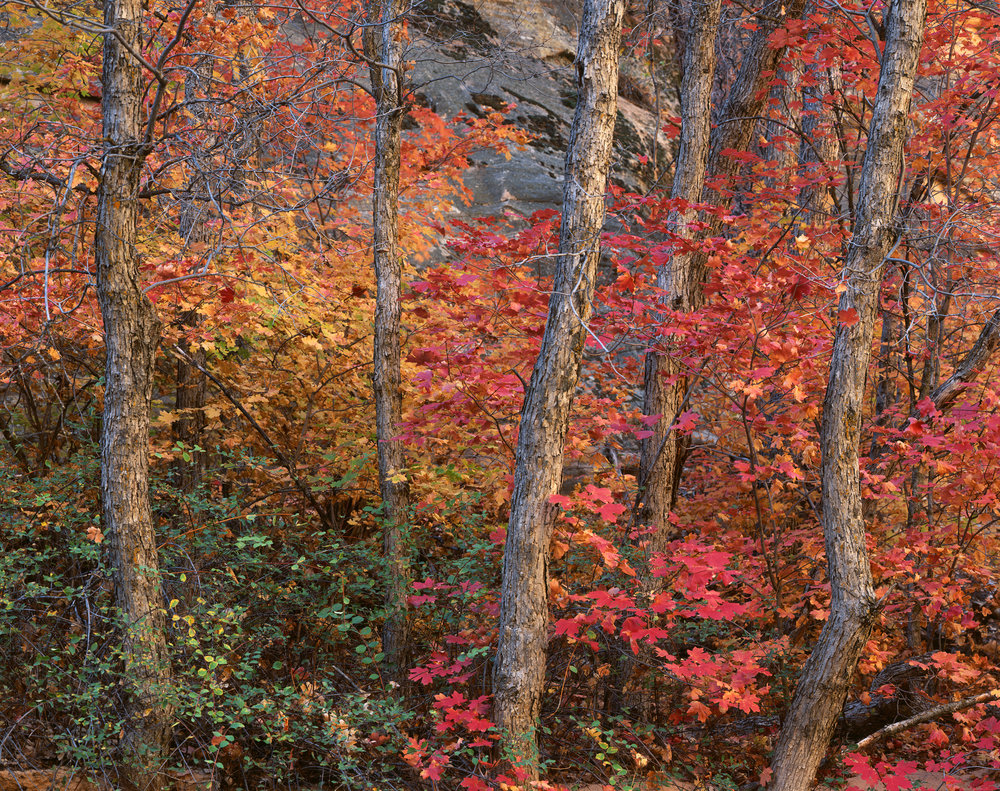 AUTUMN MAPLES |  Fuji Velvia 50 8x10 | Ebony RW810 | Nikkor 450mm | Several Seconds @ F/45