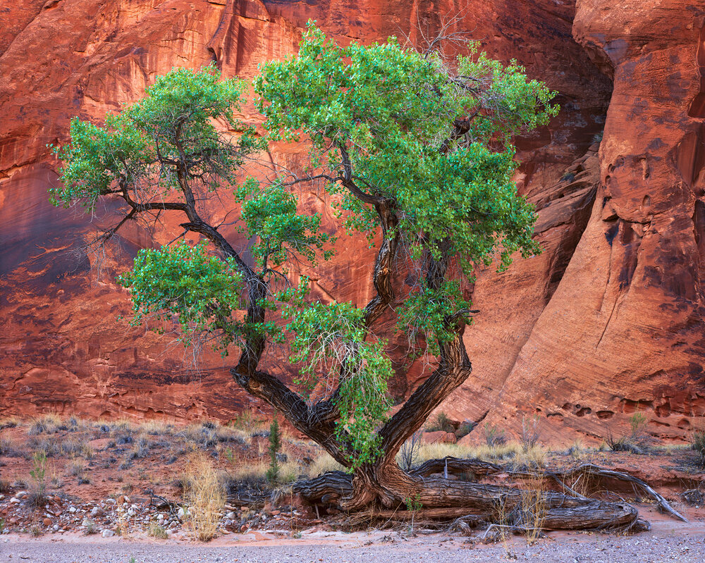 Cottonwood & Sandstone  | Glen Canyon, Utah
