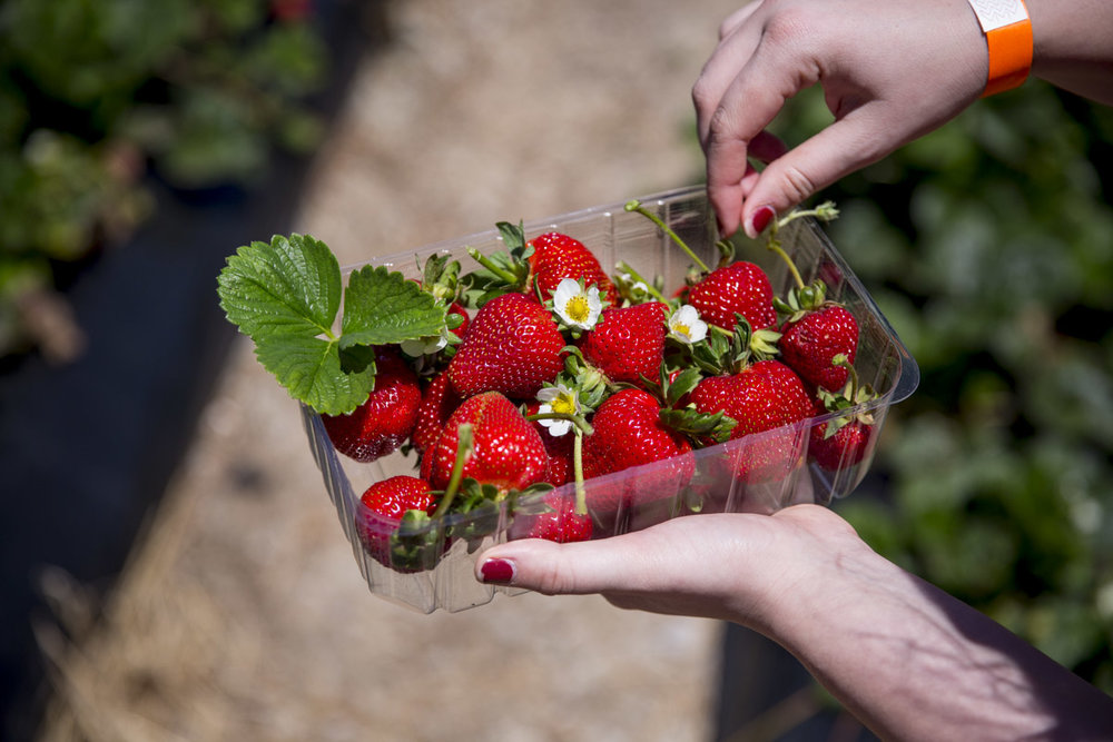 Strawberry Picking — A Couple of Swells