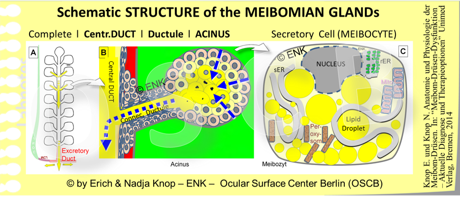 OSCB-Bild_2_Meibomian Gland_Schematic STRUCTURE of the MEIBOMIAN GLANDs (für Geerling Buch 2014).png