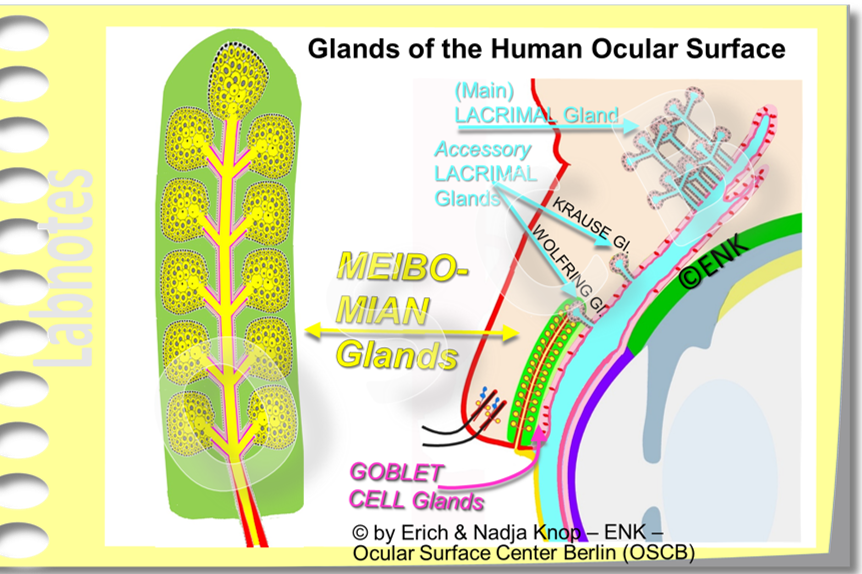 OVERVIEW of ... The MEIBOMIAN GLAND — Ocular Surface Center Berlin