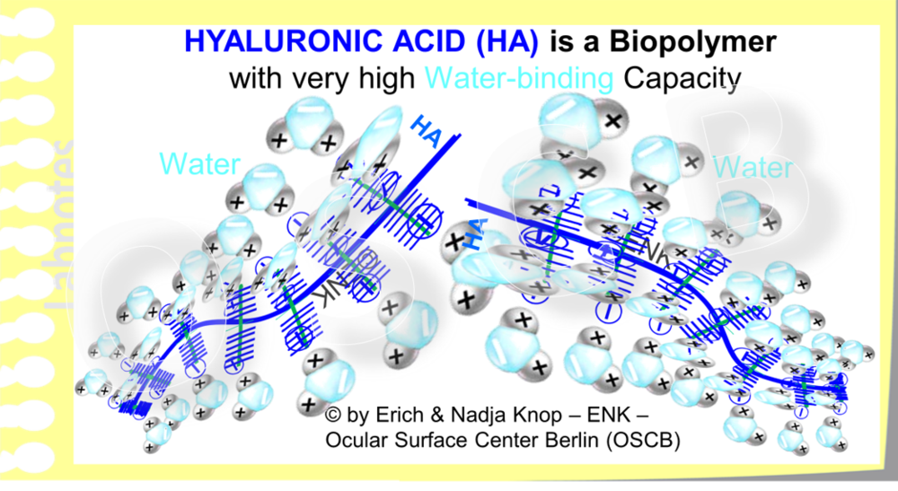 Hyaluronic Acid (blue) is a large bio-polymer with very high water-binding capacity. It typically occurs e.g. in the jelly-like vitreous body of the eye, in the viscous fluid of joints, and in connective tissue.