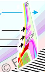 LIPCOF-CONJUNCTIVAL-FOLDS