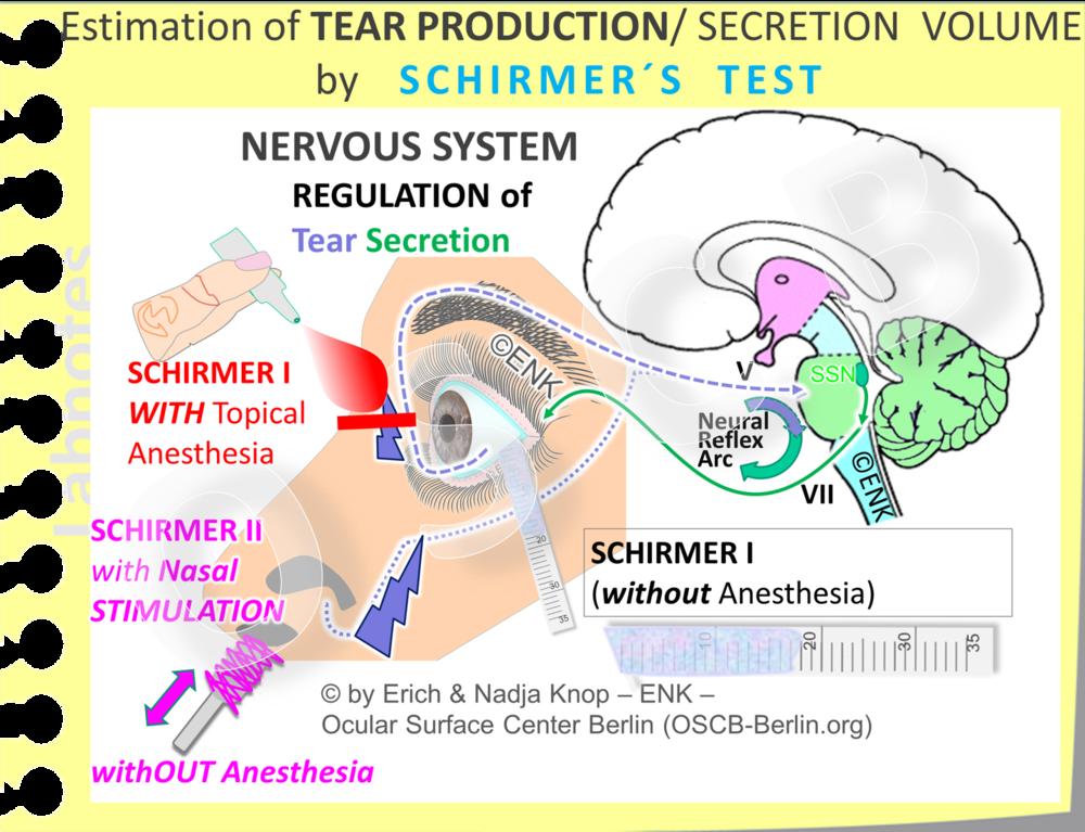 Die   WÄSSRIGE  SEKRETIONS-MENGE  der Tränendrüsen wird durch den  SCHIRMER Test  gemessen. Dabei wird die  wässrige Tränenflüssigkeit, die während einer Zeit von 5 Minuten gebildet wird , von einem Filterpapierstreifen, der über das temporale Drittel des Lidrandes hängt, aufgesaugt. Die Augenoberfläche und und die Tränendrüsen sind verbunden durch einen neuralen Reflexbogen für die Regulation der Sekretion. Er besteht aus den afferenten sensorischen (blaue unterbrochene Linie) und den efferenten Sekret-motorischen (grüne Linie) Nerven - zusammen mit dem Regulationszentrum im Hirnstamm mit dem efferenten oberen Speichelkern (dunkelgrün). Es gibt verschiedene Variationen des originalen Tests, die entweder mit einer zusätzlichen topischen Anästhesie oder, statt dessen, mit einer zusätzlichen nasalen Stimulation durchgeführt werden.