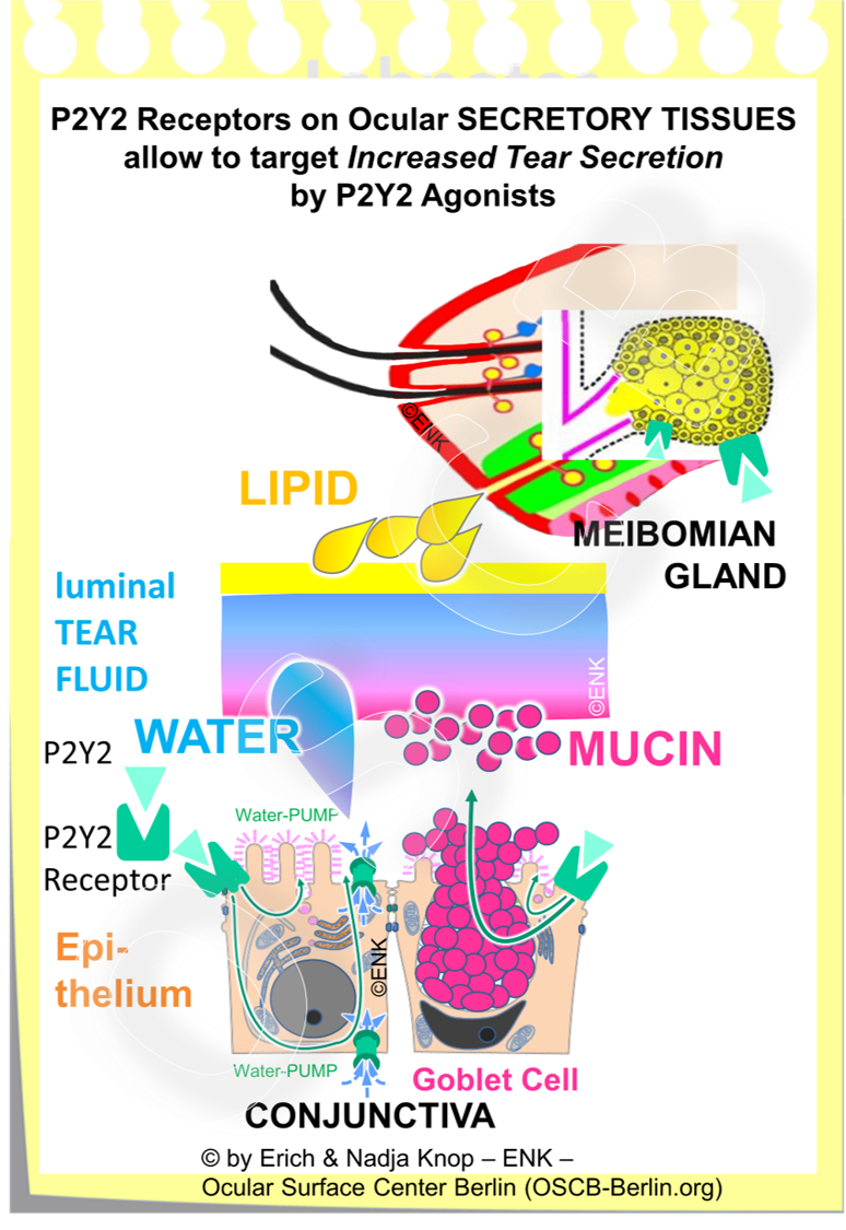 Secretagogues that stimulate the P2Y2 Receptor  on ocular Secretory Tissues allow to target an  increased secretion of tear components  and thus an increase of tear fluid volume on the ocular surface. An example of this class of tear supplementation drugs is the P2Y2 agonist Diquafosol from Santen Pharma, which is however only available in Asia.