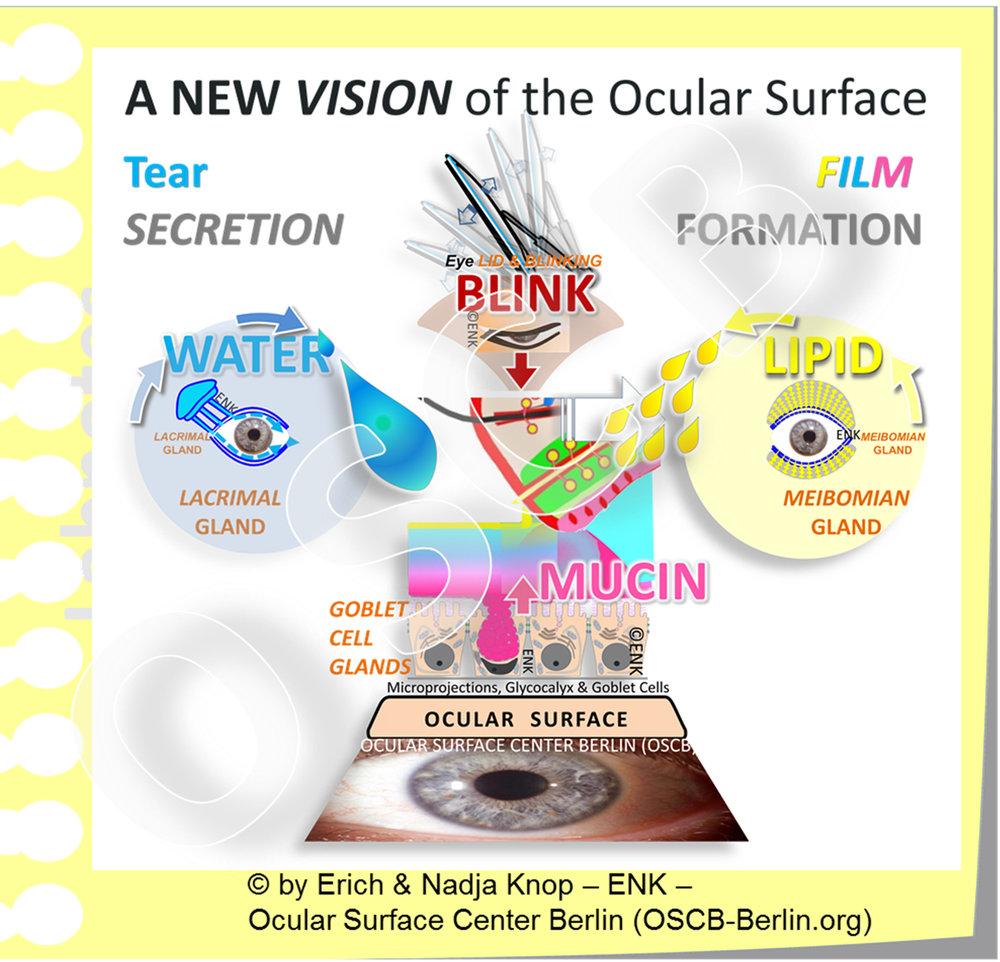 OSCB-Bild_3._Ocular Surface_A NEW VISION OF the OCULAR SURFACE ... BASIC FUNCTIONAL COMPLEXES SCHÖN mit Schatten etc_17cm-300dpi.jpg