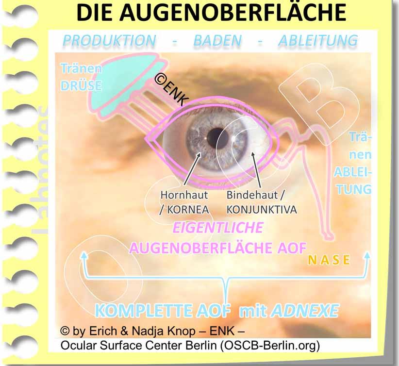 Die FUNKTIONSEINHEIT der Augenoberfläche ist hier schematisch gezeigt in der Aufsicht (Foto) . Sie besteht aus der `EIGENTLICHEN´ sichtbaren Augenoberfläche von Hornhaut/ Kornea und Bindehaut/ Konjunktiva sowie aus den unter der Haut liegenden Schleimhaut-´ANHANGSORGANEN´ (Mukosale ´ADNEXE´). Zusammen bilden sie die Gesamte Augenoberfläche.