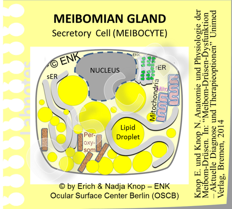 Secretory Meibocyte s are arranged as a large cell clusters in dozens of ACINI in the Meibomian Glands. This  schematic cell morphology of one ´differentiating´ MEIBOCYTE  shows that lipid is and fills the cytoplasm. The nucleus is already reduced in volume Apart from lipid stored in  lipid droplets  there are  mainly the organelles that are necessary for energy generation  (mitochhondria)  and  those that are  involved in lipid synthesis  such as the smooth endoplasmic reticulum (sER) and large numbers of peroxysomes. Mitochhondria also contribute some synthetic steps whereas the rough endoplasmic reticulum (rER) for protein synthesis is reduces.   When the Meibocyte evenntually disintegrates all these organelles form the   ´ Meibomian Oil ´.