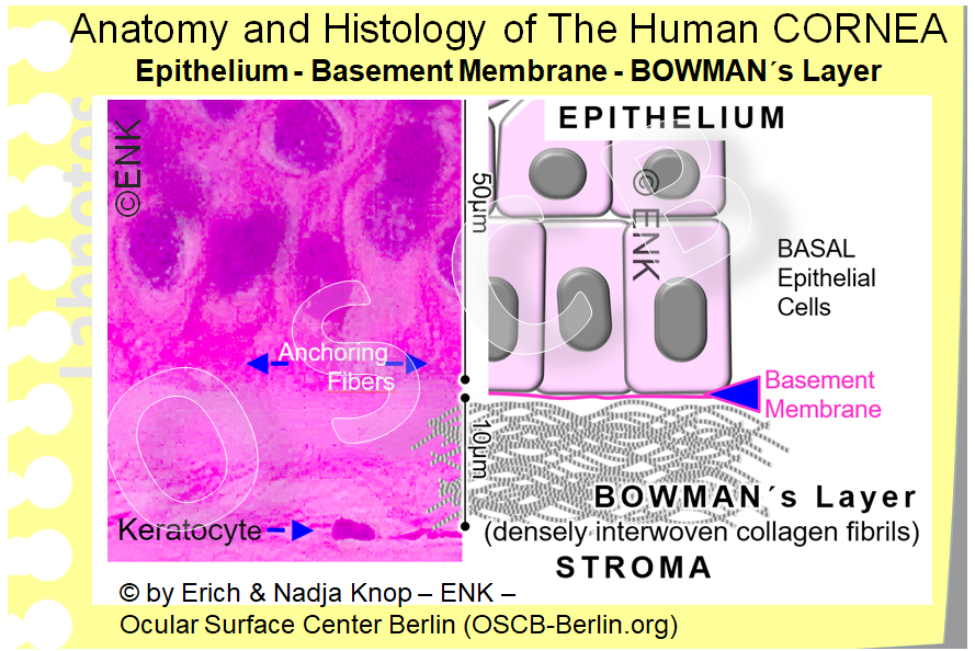 BOWMAN´s Layer is the initial zone of the corneal stroma, directly underneath the very thin basement membrane , that is almost invisible in light microscopy. It is about 10 micrometers thick, consists of densely interwoven collagen fibrils and is free of cells. It ends where the first row of keratocytes occur and thus die highly ordered stacks of collagen lamellae start.