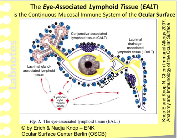 IMMUNE SYSTEM    Eye-Associated Lymphoid Tissue (EALT)