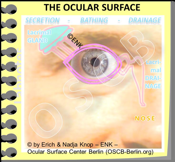 OSCB-Berlin.org_The OCULAR SURFACE (Anatomical Unit) Neu + SECRETION-BATHING-DRAINAGE + Heller (Simple).png