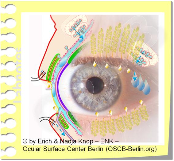 OSCB-Berlin.org_(c)ENK_Trockenes-Auge,-Dry-Eye-Disease,-Contact-Lens,-Kontaktlinse___Augenoberfläche und Drüsen mit Becherzellen, Ocular Surface and Glands with Goblett Cells_20_.jpg