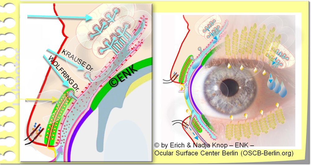 Glands of the Ocular Surface, Tränendrüsen der Augenoberfläche_RE-Montage_.jpg