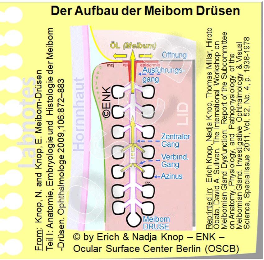 Aufbau einer MEIBOMDRÜSE_OSCB-Berlin.org, (c) Erich & Nadja Knop ENK__.jpg
