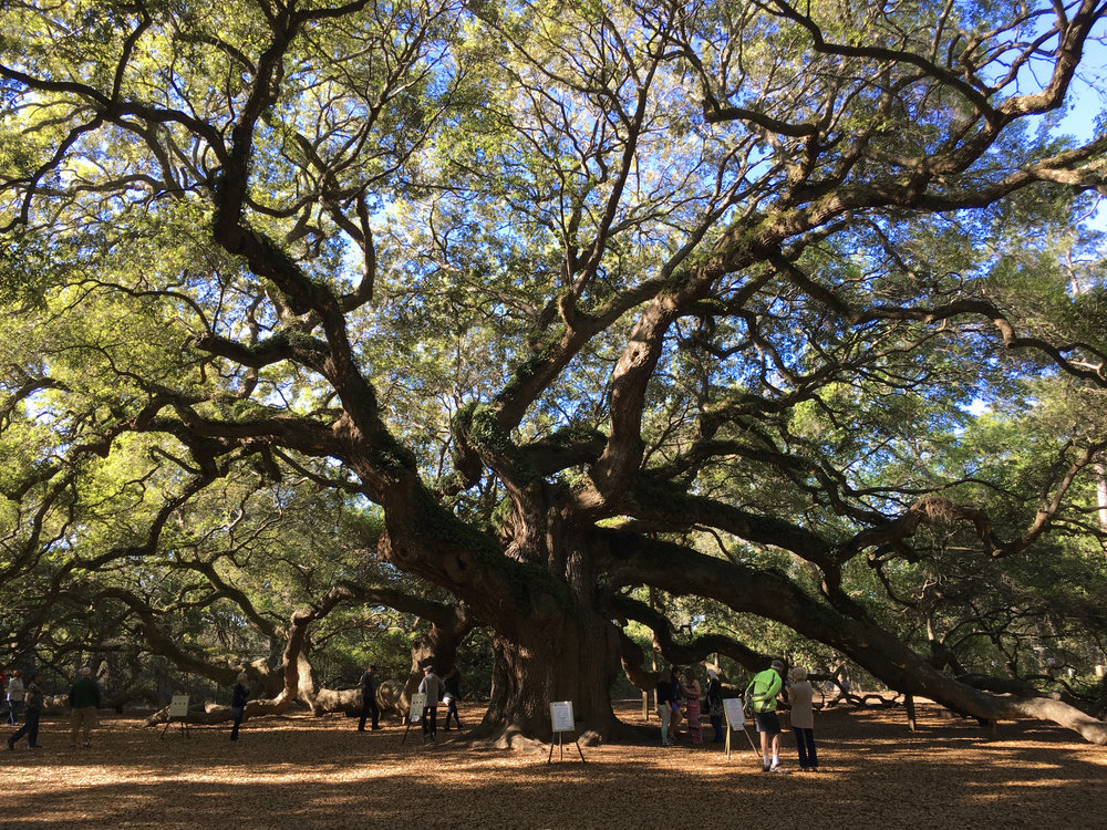 Angel Oak John's Island