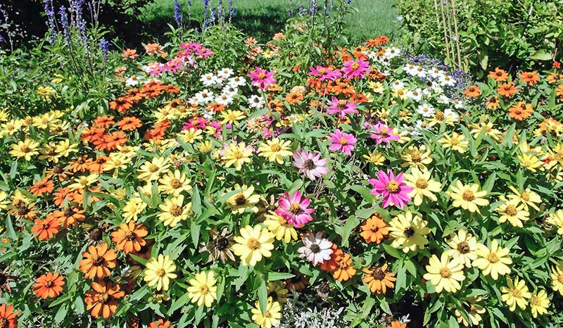 Mainimage-zinnias.jpg