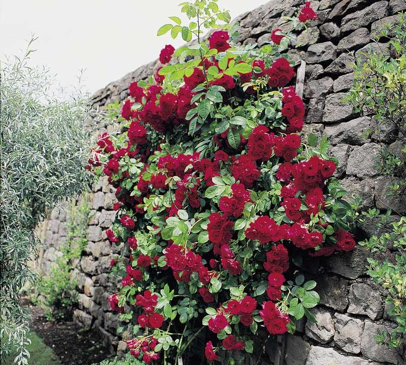 rose%20paul's%20scarlet%20climber_bauer.jpg