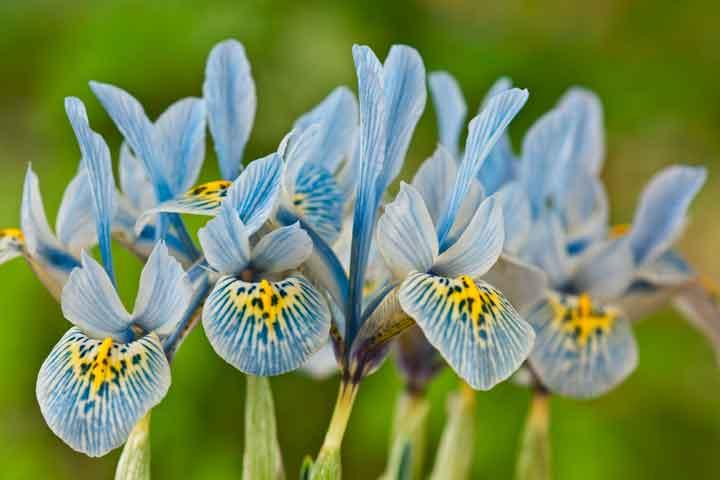 Iris-reticulata.jpg