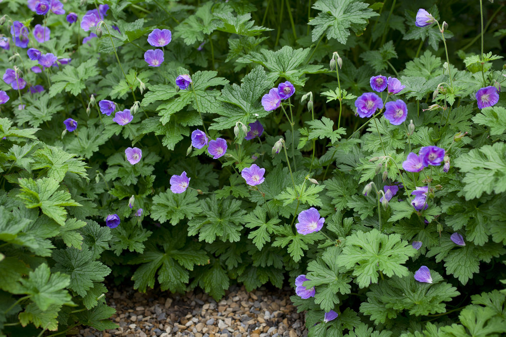 hardy%20geranium%20ground%20cover_BAUER.jpg
