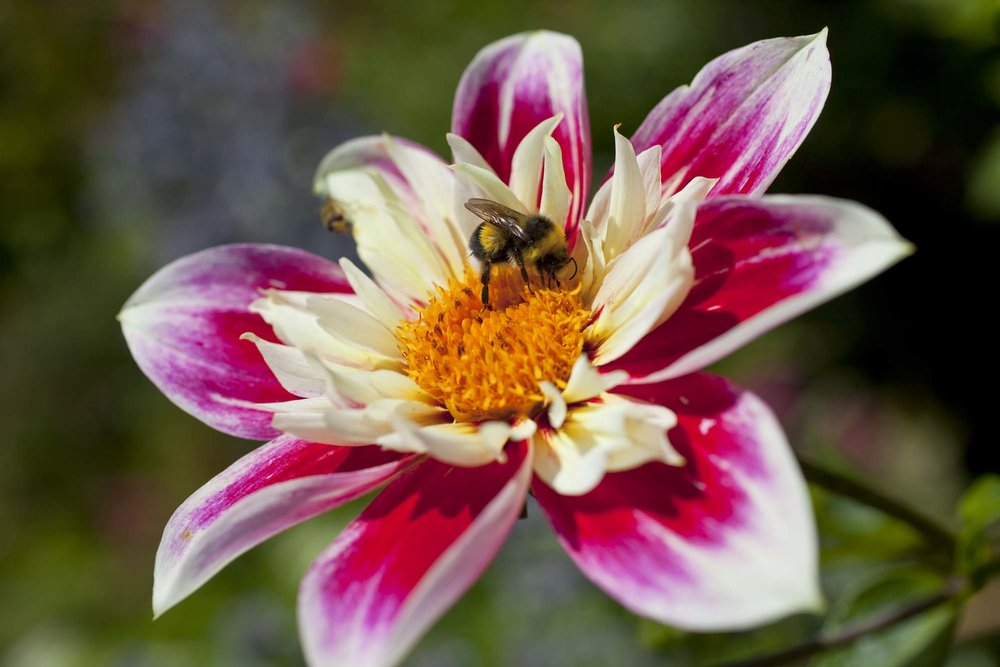 bee%20on%20dahlia_bauer.jpg