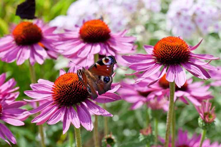 BAUER-echinacea-purpurea.jpg