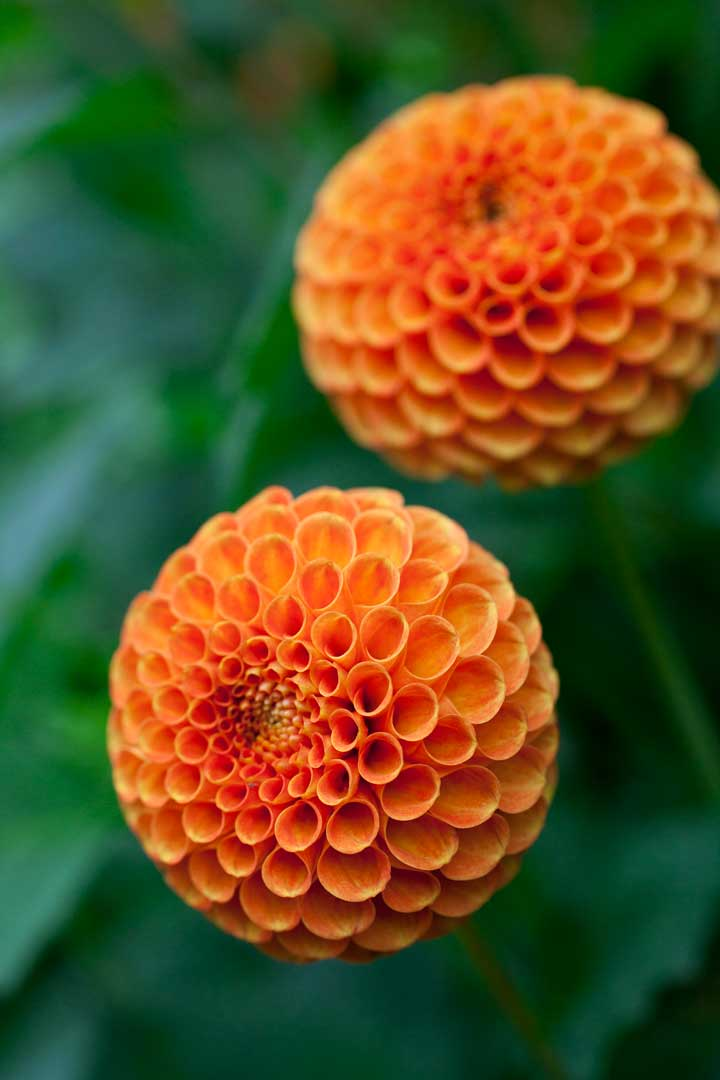 orange-ball-dahlia_BAUER.jpg